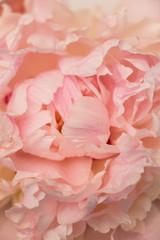 Peony petal. Pink peony. Peony flower. Background