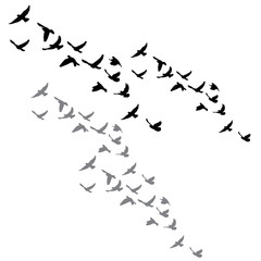 isolated flock of a bird flying silhouette