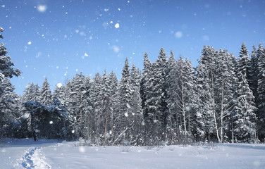 magic pine forest in winter season in snow