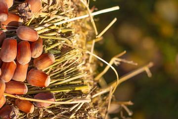 hazelnuts and hay