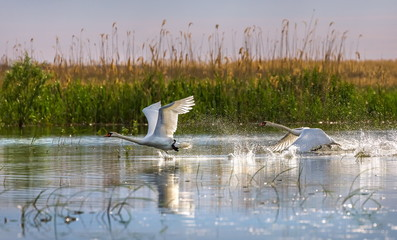 Wild swans in the Volga river delta. Swan taking off, taking off into the air. Flight of birds over the water. Wall mural