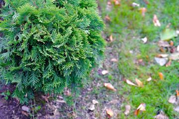 Landscape gardening, cypress, dwarf fir