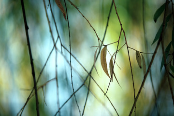 Beautiful leaves of the weeping willow. Selective focus used.