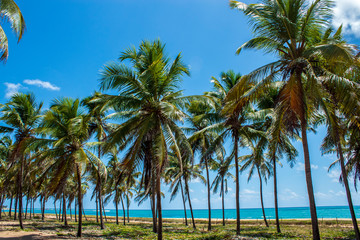 beach tropical forest with coconut palm trees