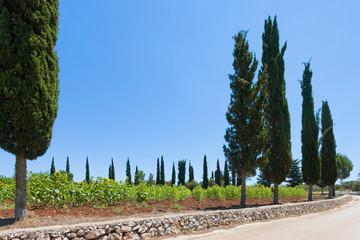 Santa Cesarea Terme, Apulia - Sunflowers alongside the country roads of Apulia