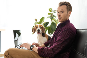 surprised male freelancer working on laptop while beagle sitting near on sofa at home office
