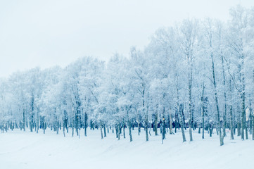 Winter landscape in cold tones - row of winter frosty trees in the winter park