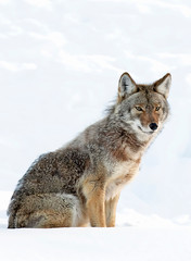 A lone coyote (Canis latrans) isolated on white background sitting in the winter snow in Canada