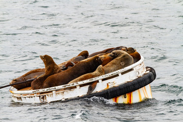 Sea lions in Seattle Harbor resting on a navigational aid