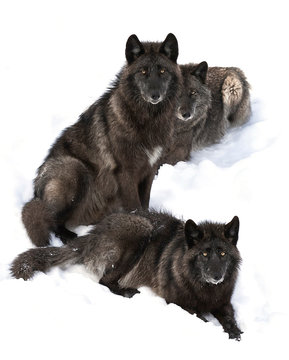 Three Black wolves (Canis lupus) portrait  isolated on white background sitting in the winter snow in Canada