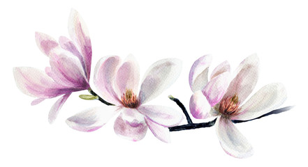 Tender pink magnolias. Hand drawn watercolor