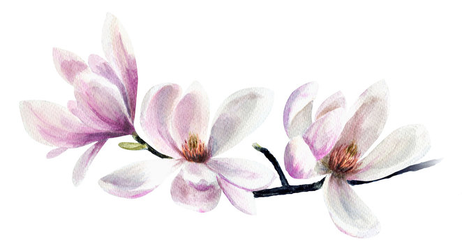 Tender pink magnolias. Hand drawn watercolor