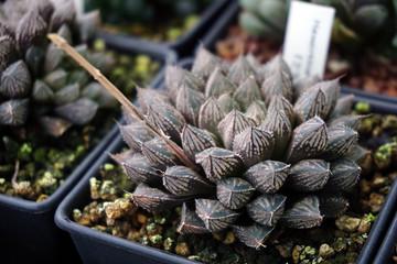 Close up Haworthia in pot , succulent plant
