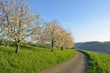 Switzerland, blossoming cherry trees on a meadow besides country road