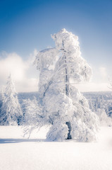 Germany, Baden-Wuerttemberg, Schliffkopf, snow-covered tree at Black forest