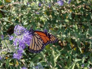Monarch butterfly feeding on purple butterfly bush