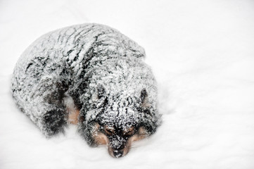 Finnish Lapphund sleeping in snowfall