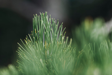 Branches of a coniferous tree close up