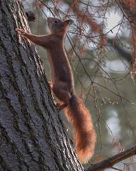 Tuinposter Eekhoorn red squirrel climbing tree
