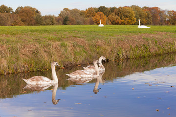 white swans in green grassy meadow near autumn forest in holland and young ones in canal