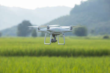Drones fly over the fields of rice.Using drones in agriculture