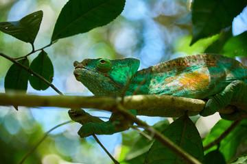 Giant Chameleon, Madagascar