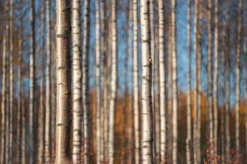 Autumn birch forest. Focus on tree trunk on the left. Shallow depth of field.