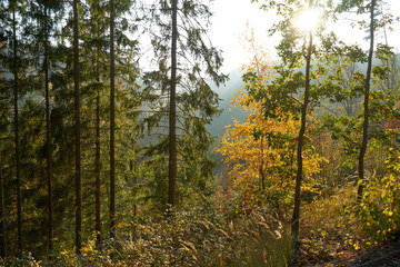 Colorful conifer forest at sunset, in the fall