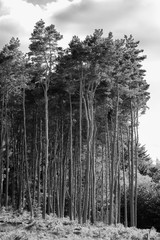 Tall Black and White Pine Trees