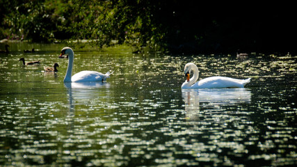 2 swans swimming together in a lake in sunshine