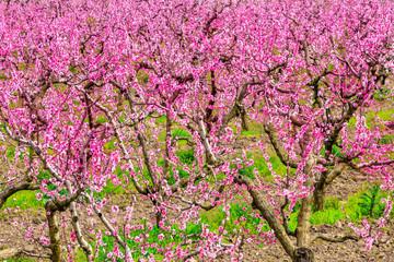 Flowering peach tree orchard, peach tree