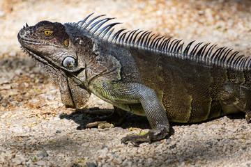 Costa-Rica - Iguane