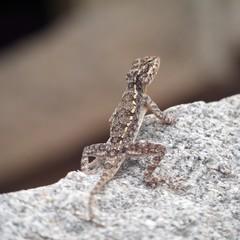 Long-tail lizard on a rock