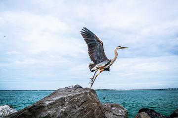 Blue Heron Taking Flight from Jetty Rocks