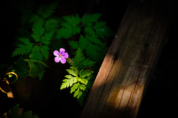 Isolated small purple flower illuminated by beam of light