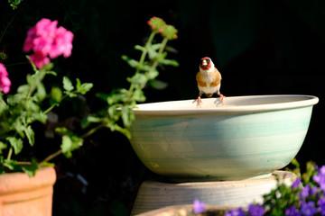 Finch on water bath