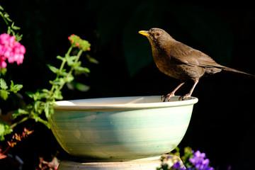 Blackbird on water bath in the light