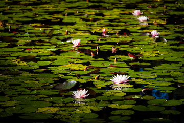Water Lilies on pond illuminated by evening light