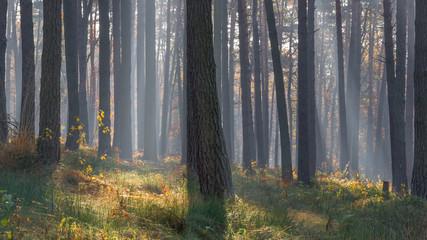 Obraz Las drzewa we mgle - fototapety do salonu