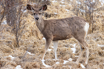 Mule Deer Doe - Wild Deer on the High Plains of Colorado