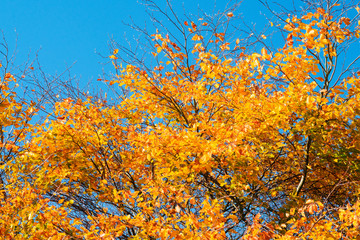 Golden autumn leaves on a tree in the fall