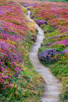 France, Brittany, cote d'armor, cap Frehal,  pathway through heather