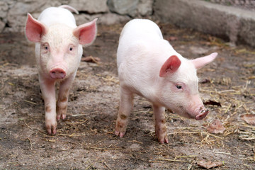 Two little cute pigs on the farm.