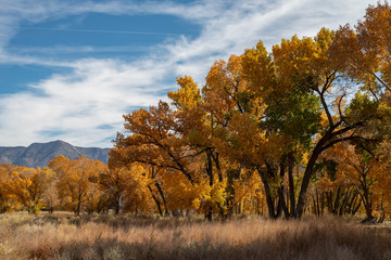 fall foliage yellow leaves on trees Eastern Sierra mountain field landscape