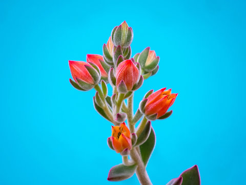 suculent plant blossoming olorful flowers with deep blue background
