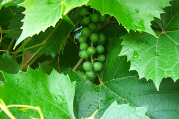 Grapes growing near the house