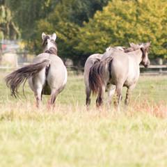 Rückzüchtung: Das Tarpan-Pferd