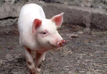 little piggy in the mud
