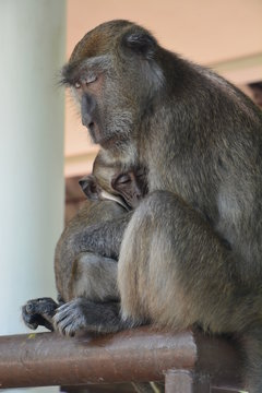 Maman Singe avec bébé Koh Lanta - Mummy monkey with baby Koh Lanta