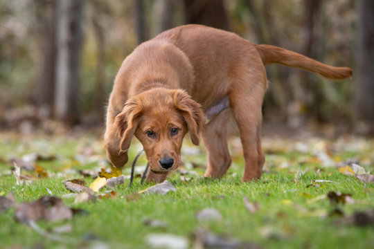 A young golden retriever dog sniffing the grass and leaves.